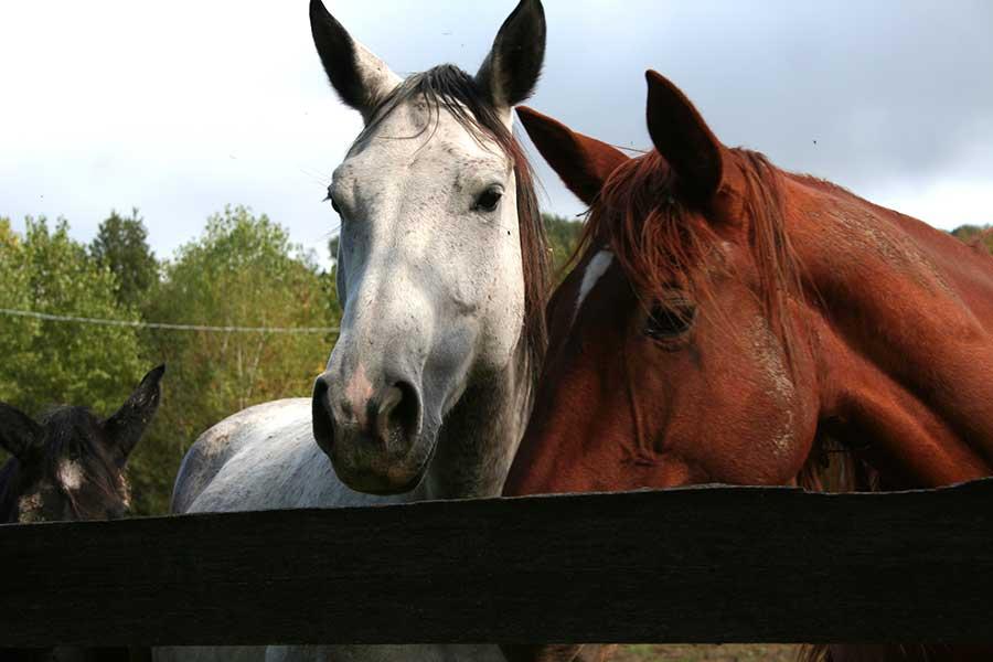 Cavalli nei recinti dell'allevamento del Ghiro