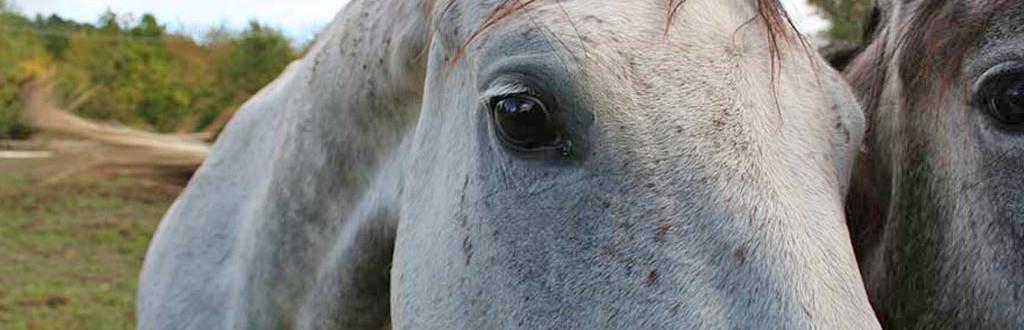 Allevamento cavalli da sella italiani